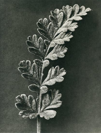 Karl-Blossfeldt-Erodium-chrysanthum-(Stork-bill).jpg