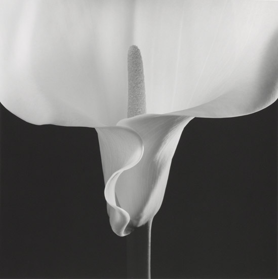Mapplethorpe_Calla-Lily,-1988.jpg