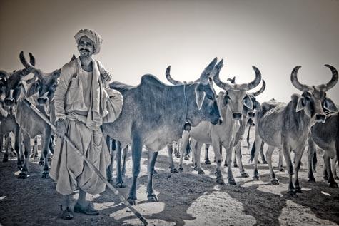 TerriGold_GujaratiShepherd.jpg