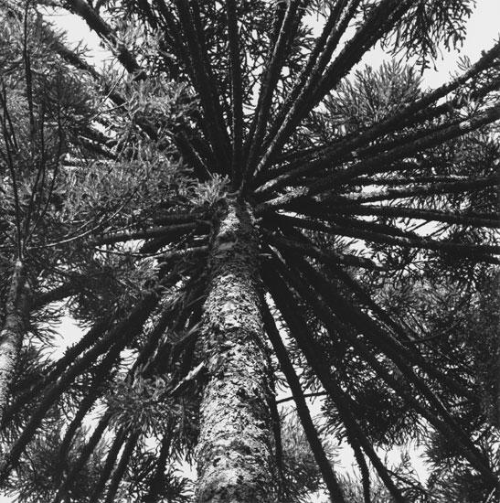 Throckmorton-VALDIR-CRUZ-PINUS-ARAUCARIA-Araucarian-Pines-Selenium-Toned-Gelatin-Silver-Print-20x24-1992-susan@susanpr.jpg