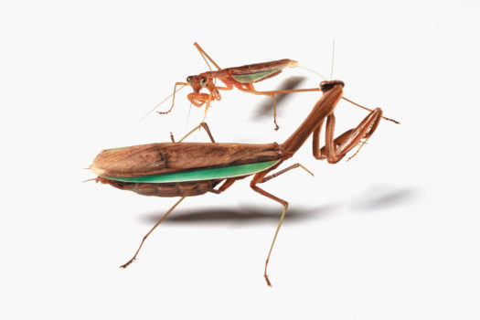 No such thing as a quickie for mantises. Catherine had been studying this pair; he cautiously approached her before they proceeded to mate for hours.