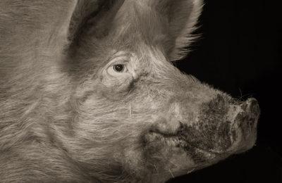 Kevin Horan: Chattel: Porcine © Kevin Horan