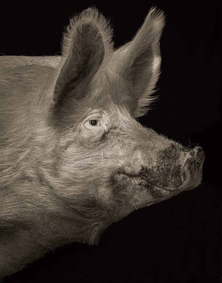 "Kevin Horan takes another view of his four legged neighbors. His last Chattel series concentrated on the ovine and caprine; now he brings us porcine. ""Through portraiture, I can regard them as non-human persons. I can attempt to bridge the species divide. I can try to see what's going on inside the pig mind.""