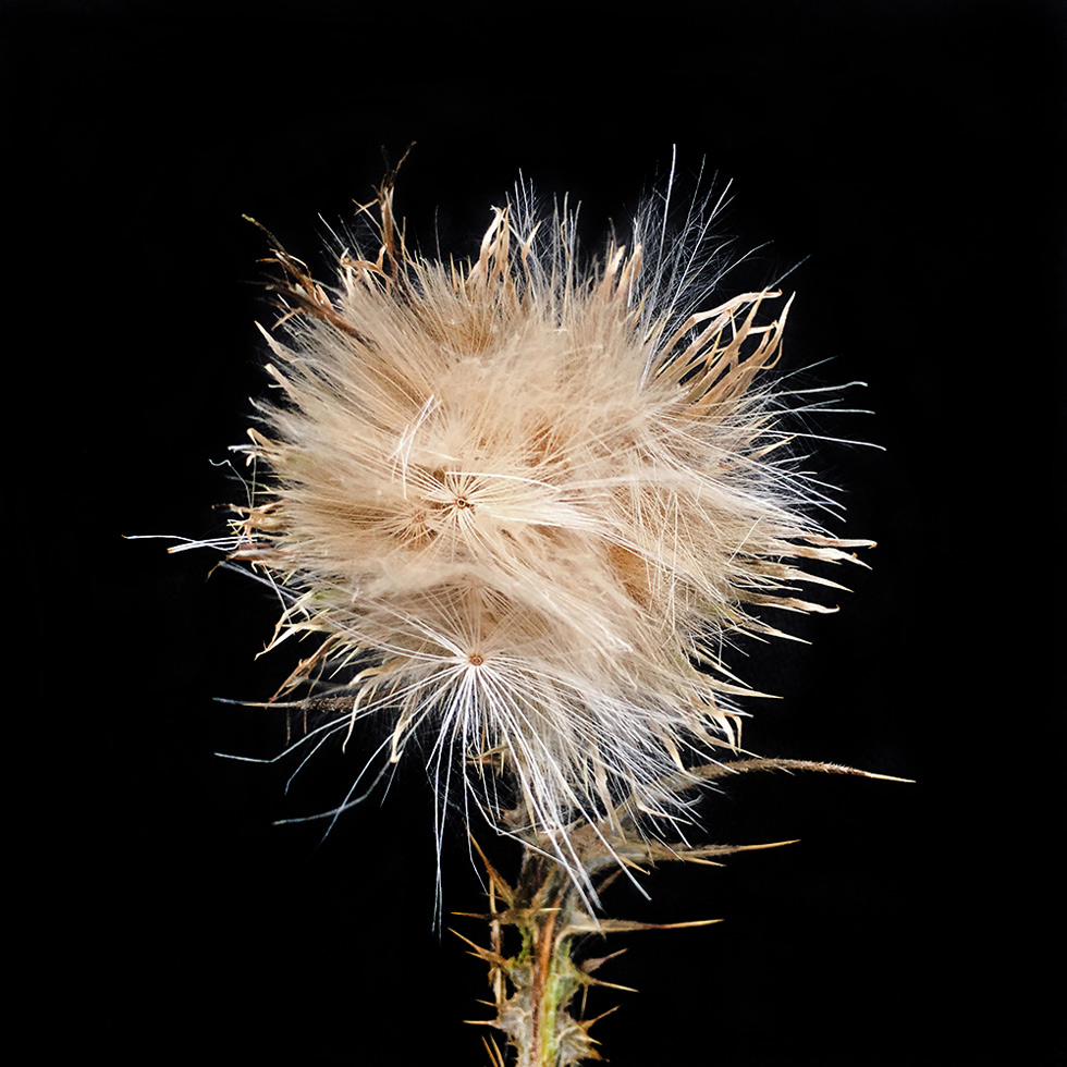 Spear Thistle (in seed)