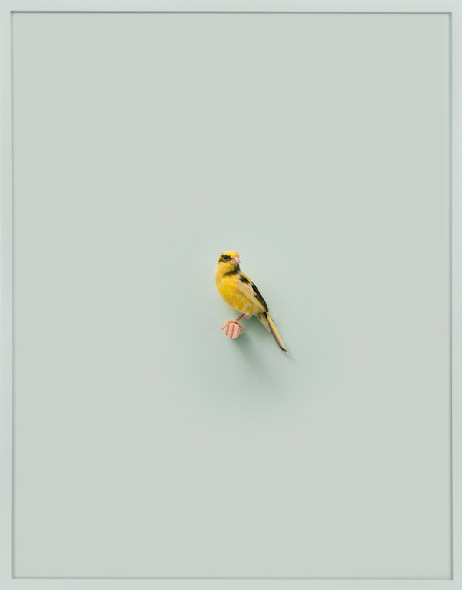 Russian Canary (Healing Aloe)