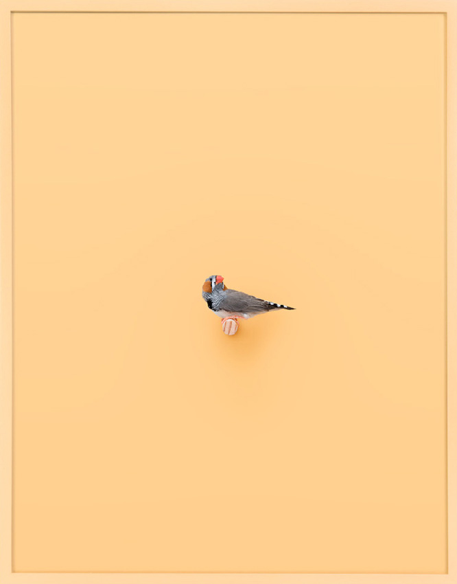 Zebra Finch (Buttercup)