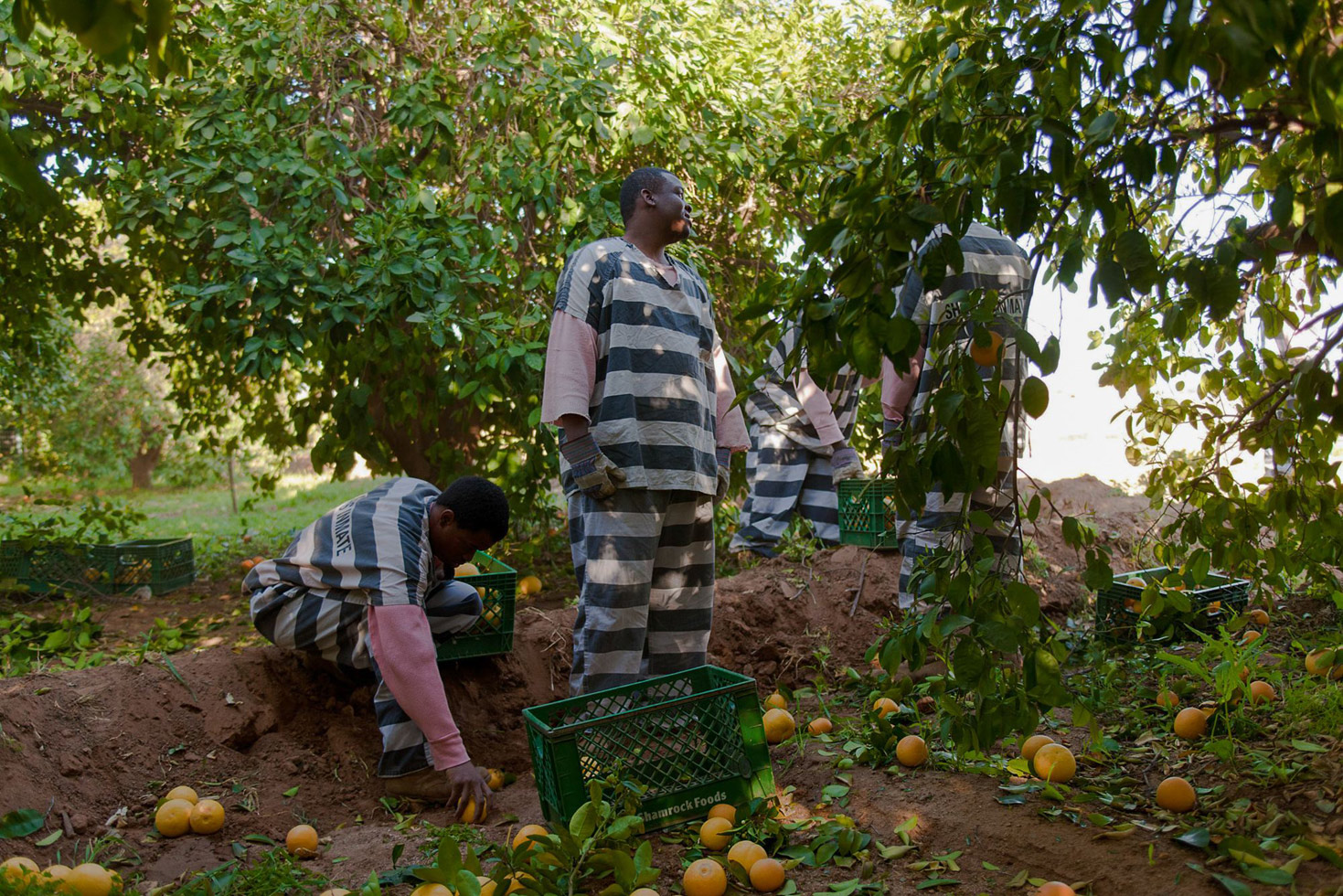 Inmates pick and gather five tons of grapefruit on a private farm. The farm sells the grapefruit back to Estrella Jail to feed prisoners.