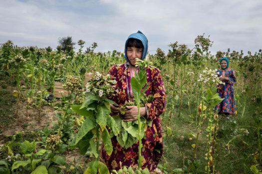 Harvesting tobacco.